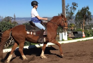 DRESSAGE BASICS IMPROVES GAITED HORSES TOO!